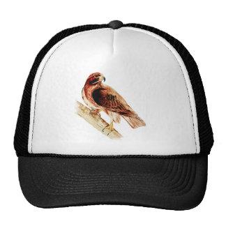 Halcón rojo de la cola gorras