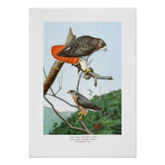 halcones Rojo-atado y del tonelero Póster