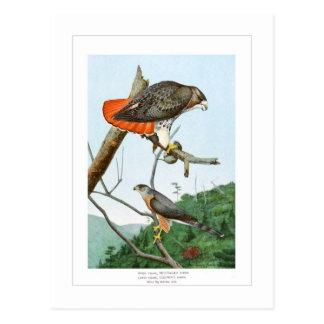 halcones Rojo-atado y del tonelero Postal