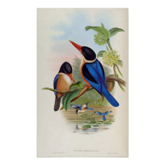 Halcyon Atricapillus (Black-Capped Kingfisher) Poster