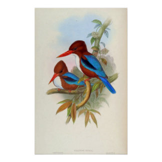 Halcyon Fusca (Indian Kingfisher) Poster