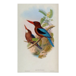 Halcyon Gularis (White-throated Kingfisher) Poster