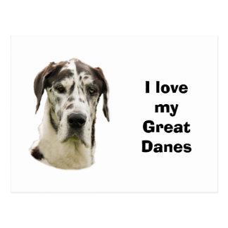 Halequin Great Dane portrait photo Postcard