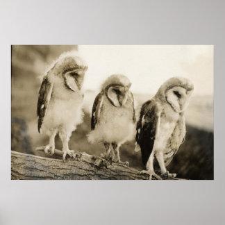 Half Grown Barn Owls Poster Print
