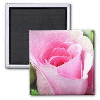 Half Open Pink Rosebud 2 Inch Square Magnet