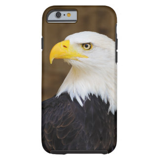 Haliaeetus americano Leucocephalus de Eagle calvo
