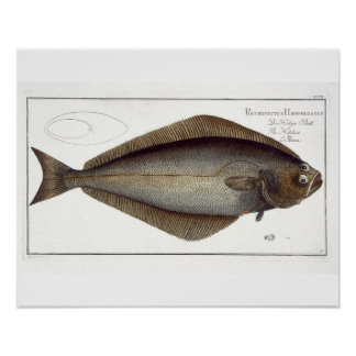 Halibut (Pleuronectes Hippoglossus) plate XLVII fr Poster