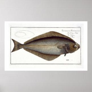 Halibut (Pleuronectes Hippoglossus) plate XLVII fr Posters