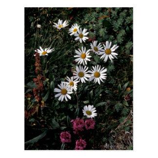 Hall Island wildflowers, Arctic daisy , Lousewort Postcard