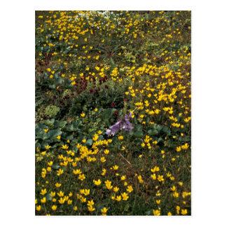 Hall Island wildflowers, Bog Saxifrage Postcard