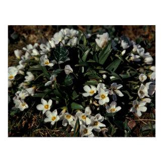 Hall Island wildflowers, Claytonia Postcard