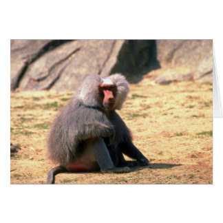Hamadryas Baboon-adult male sitting Card
