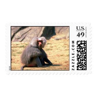 Hamadryas Baboon-adult male sitting Postage