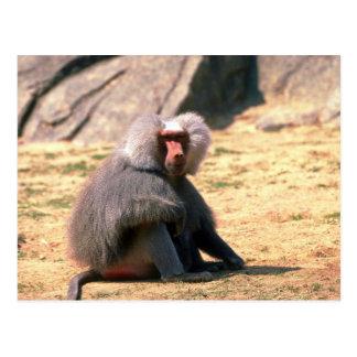 Hamadryas Baboon-adult male sitting Postcards
