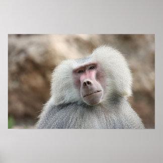 Hamadryas Baboon Monkey Poster