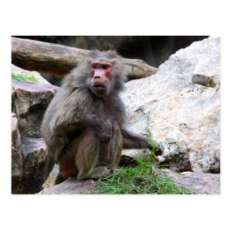 Hamadryas Baboon Postcard