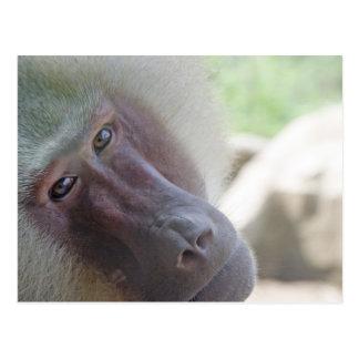 Hamadryas baboon postcards