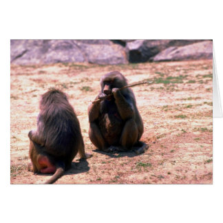 Hamadryas Baboons gnawing bark from stick Card