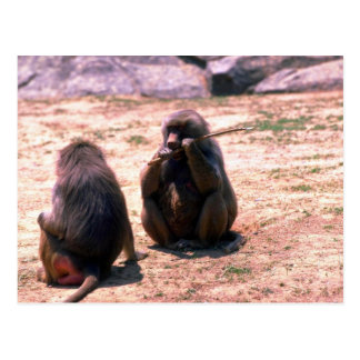 Hamadryas Baboons gnawing bark from stick Post Card