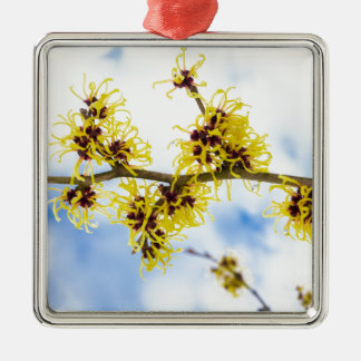 Hamamelis mollis with yellow flowers and blue sky metal ornament