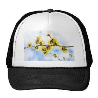 Hamamelis mollis with yellow flowers and blue sky trucker hat