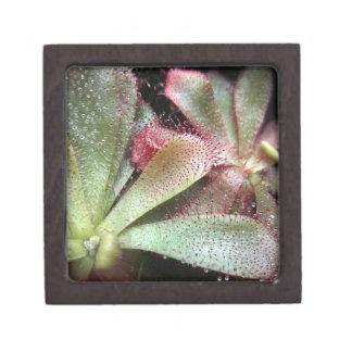 Hamilton's Sundew Plant Photo Gift Box