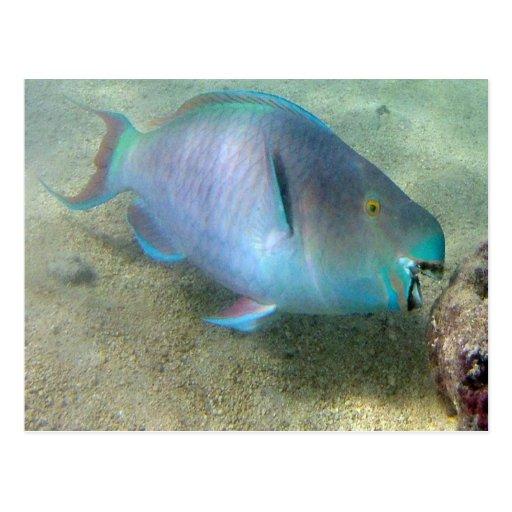 HANAUMA BAY HAWAII - Parrot Fish Post Cards