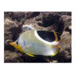 Hanauma Bay - Saddleback Butterfly Fish Post Cards