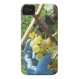 Hand cutting white grapes, harvest time Case-Mate iPhone 4 case