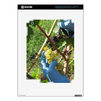 Hand cutting white grapes, harvest time decal for iPad 3