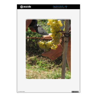 Hand cutting white grapes, harvest time decal for the iPad