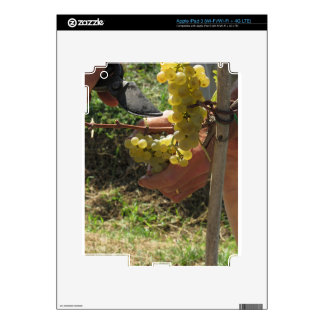 Hand cutting white grapes, harvest time decals for iPad 3
