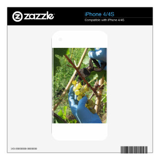 Hand cutting white grapes, harvest time iPhone 4 skin