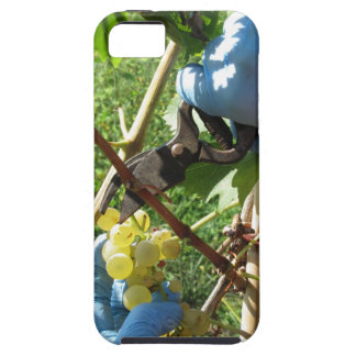 Hand cutting white grapes, harvest time iPhone SE/5/5s case