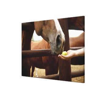 Hand feeding a horse an apple. canvas print