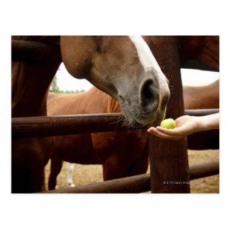 Hand feeding a horse an apple. postcard