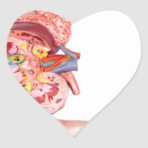 Hand showing model with inside of human kidney heart sticker