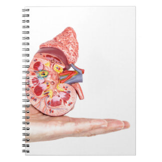 Hand showing model with inside of human kidney notebook