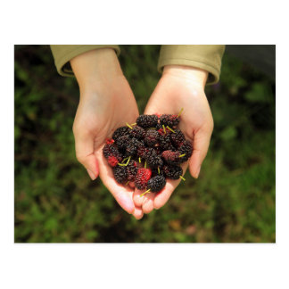 Handful of Mulberry Berries Fresh and Sweet Postcard