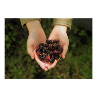Handful of Mulberry Berries Fresh and Sweet Poster