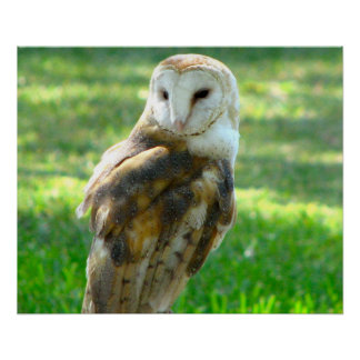 Handsome Barn Owl Poster