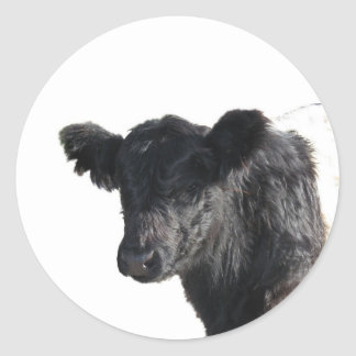 Handsome Belted Galloway Steer Stickers