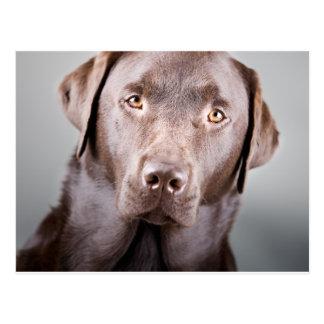 Handsome Chocolate Labrador Postcard