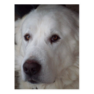 Handsome Great Pyrenees Dog Postcard