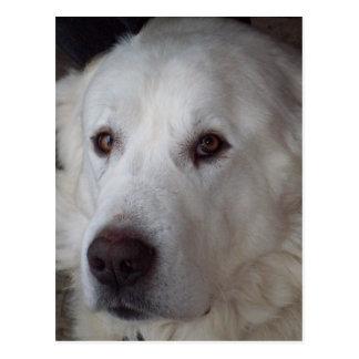 Handsome Great Pyrenees Dog Postcard