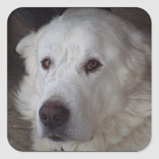 Handsome Great Pyrenees Dog Square Sticker