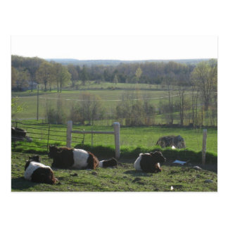 Handsome Herd of Belties Relaxing Postcard