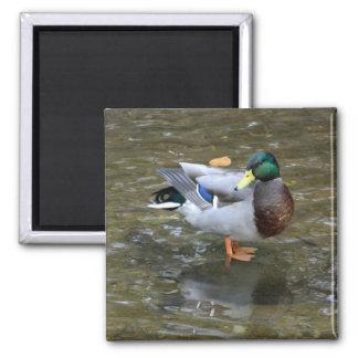 Handsome Mallard (Male) Duck Magnet