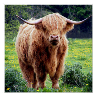 Handsome Scottish Highland Cow In Field Poster