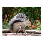 Handsome Squirrel Postcard